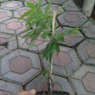 Tanaman Pachira (Money Tree) – sudah kepang