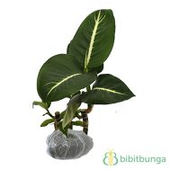 Tanaman Aglaonema Dark Green