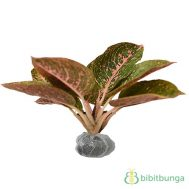 Tanaman Aglaonema Red Metallic