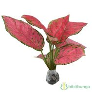Tanaman Aglaonema Red Ruby
