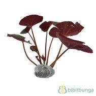 Tanaman Begonia Apem Merah