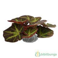 Tanaman Begonia Rhasta