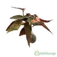Tanaman Begonia Choco Red Shield