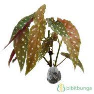 Tanaman Begonia Polkadot