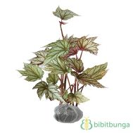 Tanaman Begonia Red Exotica