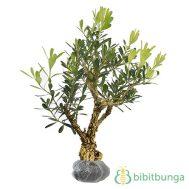 Tanaman Boxus (Buxus)