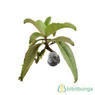 Tanaman Cocor Bebek (Miracle Leaf)