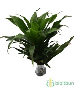 Tanaman Dracaena Green Jewel