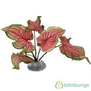 Tanaman Caladium Bicolor 'Florida Sweetheart'