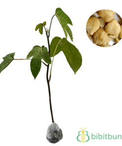 Tanaman Kemiri (Candlenut) 80 cm