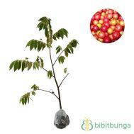 Tanaman Kersen (Jamaica Cherry)