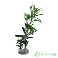 Tanaman Lohansung (Buddhist Pine / Kusamaki)