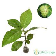 Tanaman Mengkudu (Indian Mulberry)