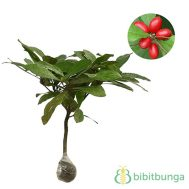 Tanaman Miracle Fruit (Buah Ajaib)