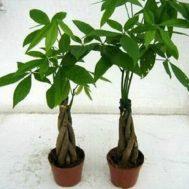 Tanaman Pachira (Money Tree)