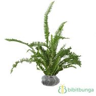 Tanaman Pakis Boston (Boston Fern)