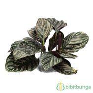 Tanaman Pinstripe Calathea
