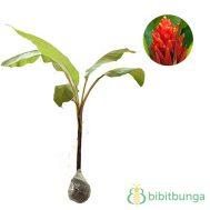 Tanaman Pisang Songgo Langit (Scarlet Banana)