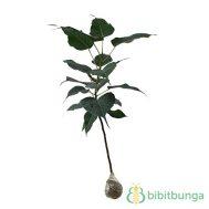 Tanaman Pohon Bodhi (Sacred Fig)
