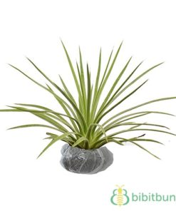 Tanaman Presia Yucca