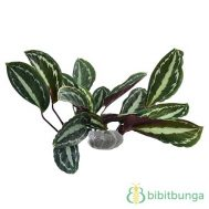 Tanaman Rose Painted Calathea