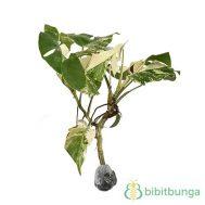 Tanaman Split Leaf Philodendron Variegata
