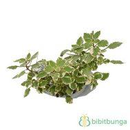 Tanaman Swedish Begonia Variegata