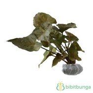 Tanaman Green Syngonium