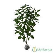 Tanaman Wild Mint (Mentha arvensis)