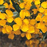 Benih Mexican Mint Marigold
