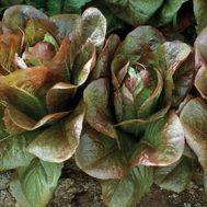 Benih Romaine Lettuce Rouge D'hiver