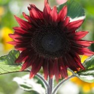 Benih Sunflower Pro Cut Red F1 (Single)