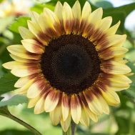 Benih Sunflower Pro Cut Red & Lemon Bicolor F1 (Single)