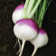 Benih Turnip Purple Top White Globe