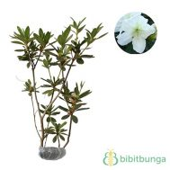 Tanaman Azalea Single White