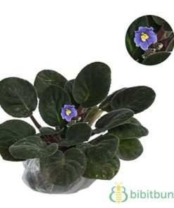 Tanaman Blue African Violet