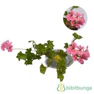 Tanaman Geranium Barbie Pink