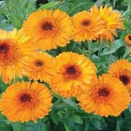 Benih Calendula Princess Orange Black