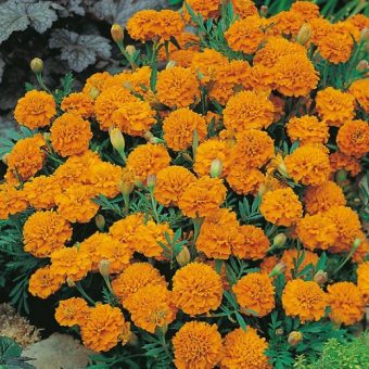 Benih French Marigold Orange Boy 6 Biji – Non Retail