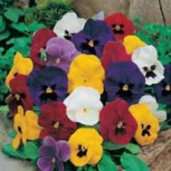 Benih Pansy Mr F's Early Mixed F1
