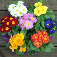 Benih Polyanthus Large Flowered Mixed