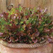 Benih Selada Merah Mixed Khusus Pot