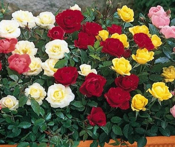 Cara Perawatan Bunga Mawar