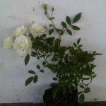 Tanaman White Climbing Rose (Mawar Rambat Putih)