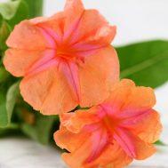 Benih Bunga Pukul Empat Orange