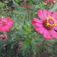 Benih Zinnia Lokal Single Pink