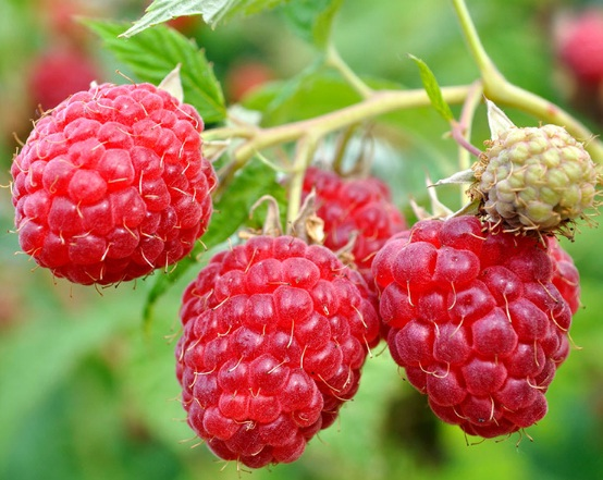 buah-red-raspberry