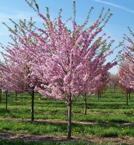 gambar-pohon-persik-prunus-persica.jpg