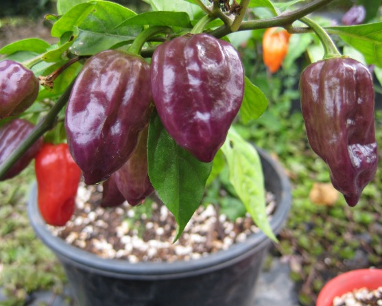 purple-bhut-jolokia