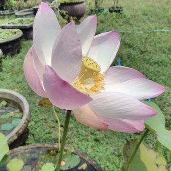 Benih Lotus Light Pink 1 Biji – Non Retail